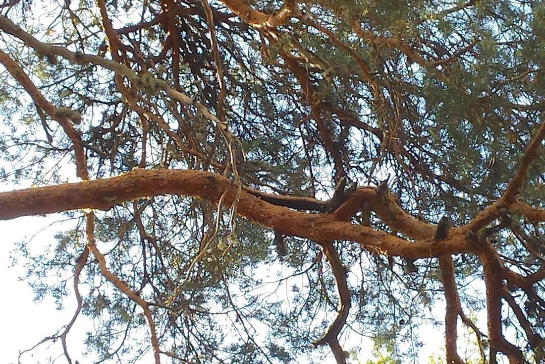 En nuestro trabajo no solo evaluamos el tronco sino también las ramas, de igual importancia para el tema de las roturas. Aquí se puede observar la rama rota.